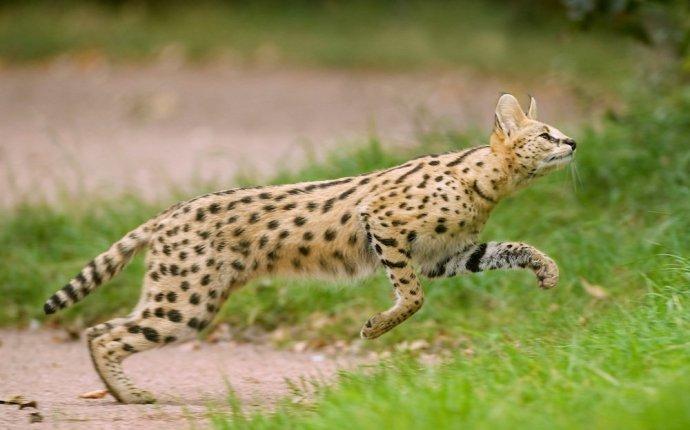 10 самых редких и необычных видов диких кошек | Журнал Популярная