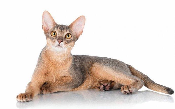 Абиссинская кошка: особенности характера и содержания породы