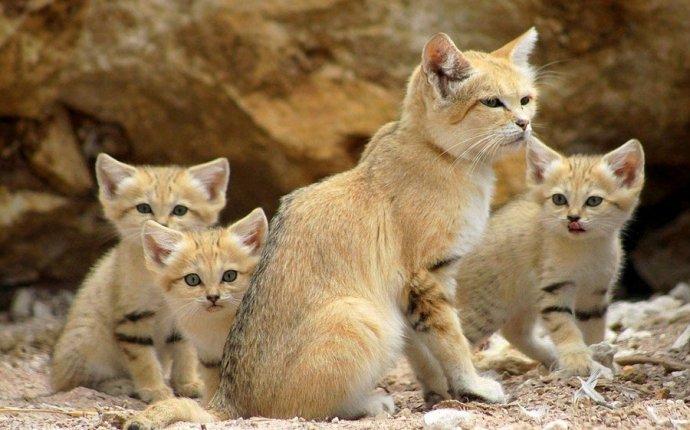 Барханные кошки - взрослые котята (11 фото) - Все самое интересное