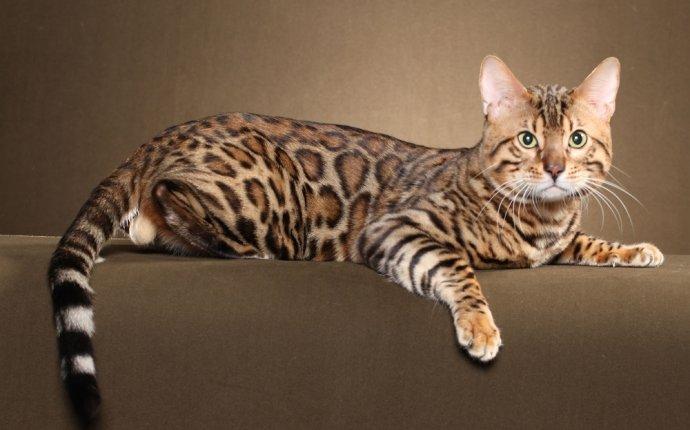 Бенгальская кошка, бенгал - фото, описание породы и характера