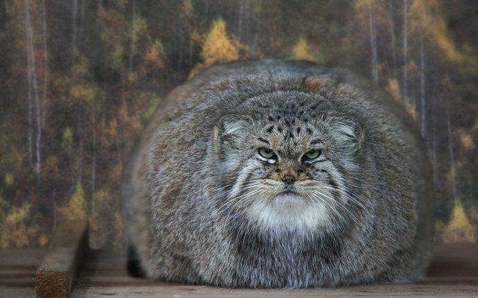 Большие дикие кошки (47 фото) | Прикол.ру — приколы, картинки