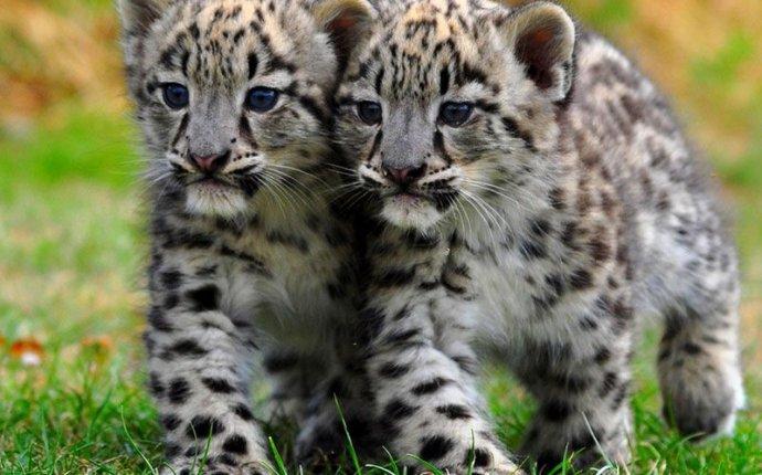Большие кошки - тигры, львы, леопарды и барсы