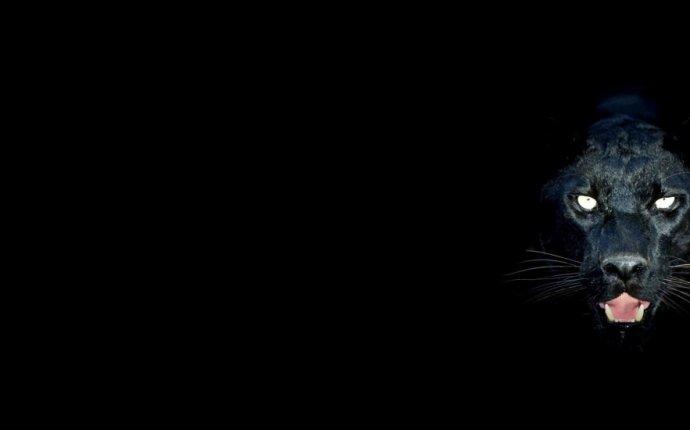 Черная пантера - грациозная дикая кошка просто завораживает нас