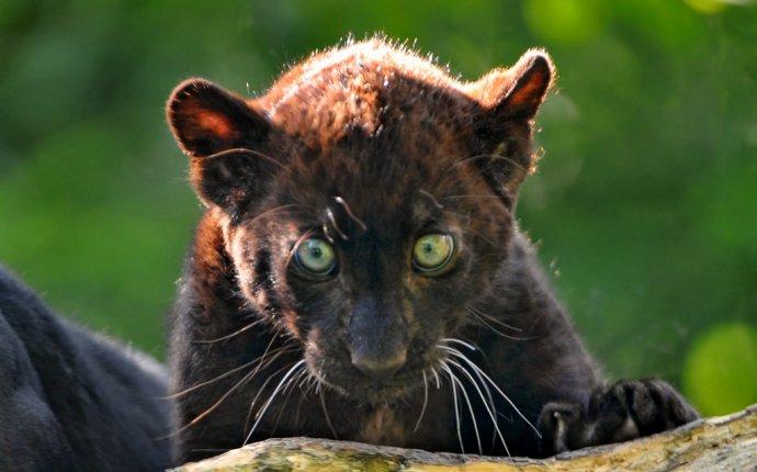 Черная пантера - ZooPicture.ru