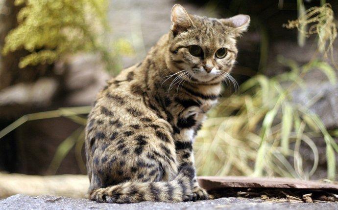Черноногая кошка (лат. Felis nigripes)