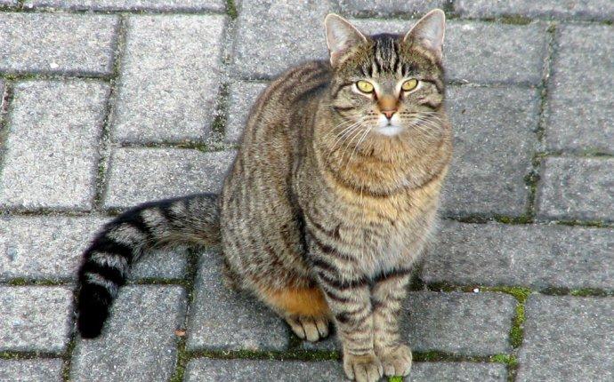 Дикие кошки: Европейская дикая лесная кошка (Felis silvestris