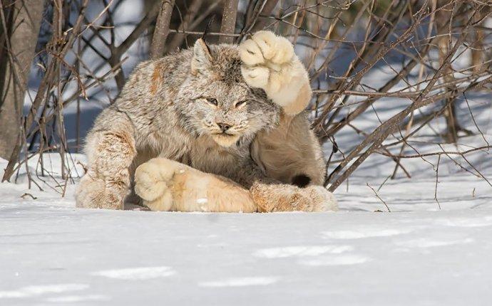 Дикие кошки фото и названия