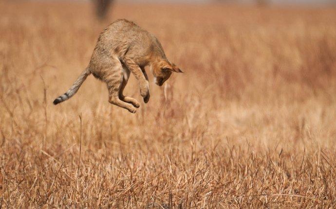 Дикие кошки: Камышовый кот (Felis chaus) - Мастерок.жж.рф