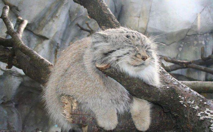 дикие кошки могут навсегда исчезнуть с лица Земли. Фото