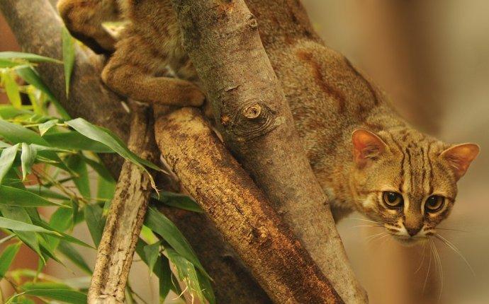 Дикие кошки: ржавая кошка - самая маленькая дикая кошка в мире