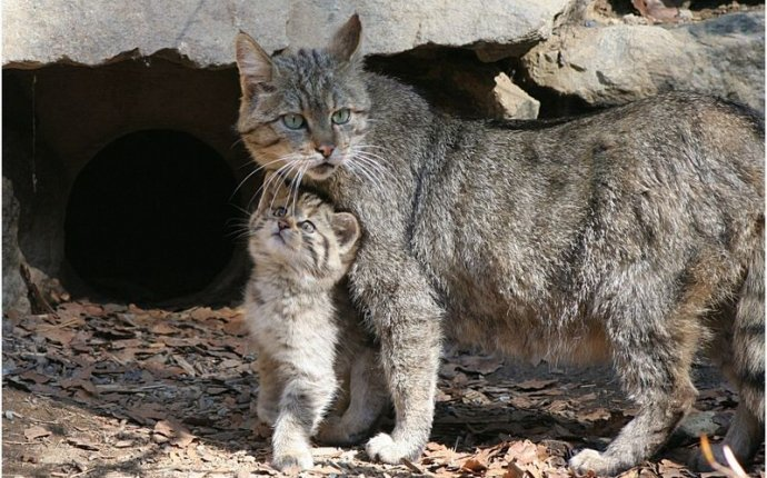 Дикие коты фото россия