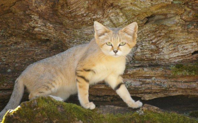 Дикие породы кошек фото (30 фото) | scorpion-cats.ru
