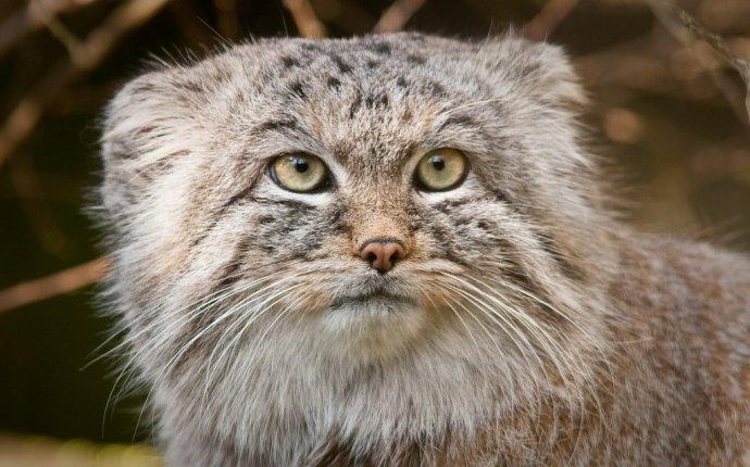 Дикий кот манул в казахстане