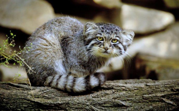 Дикий кот манул забайкальского края