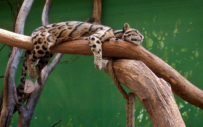 Дымчатый леопард: описание, фото, видео. - webmandry.com