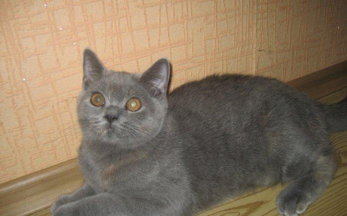 Фото британских котят 6 месяцев