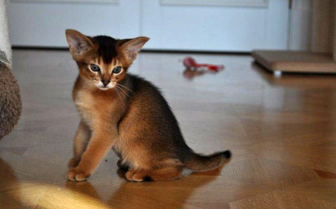 Фото кошек и котят абиссинская кошка