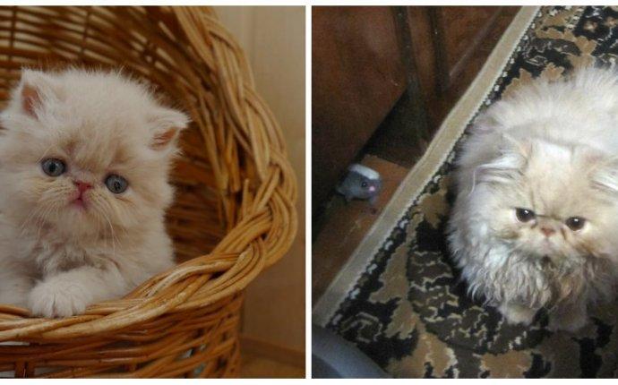 фото смешных персидских котов | scorpion-cats.ru