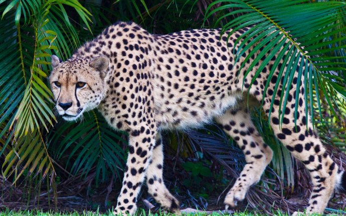 Гепард | Энциклопедия животных