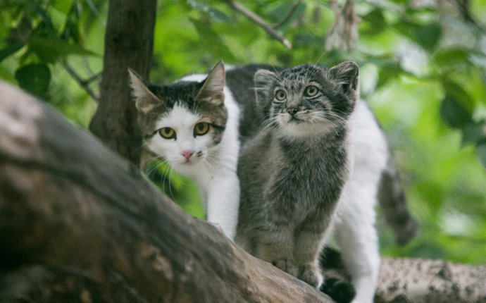 Гибрид манула и кошки