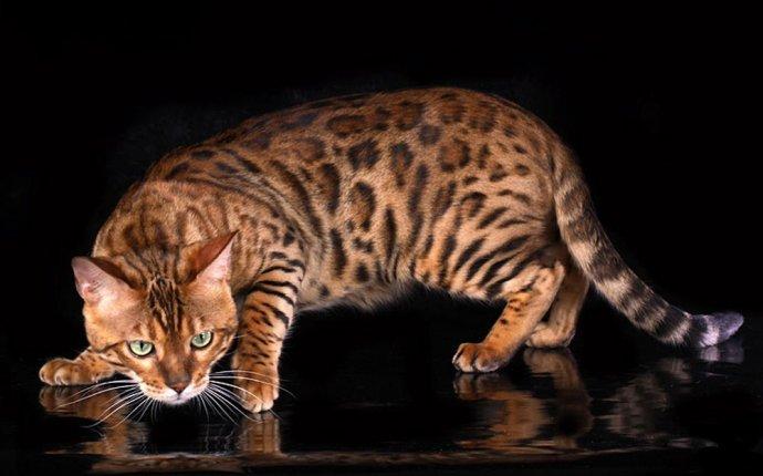Как дикая кошка стала домашней? Секрет раскрыт! — Вокруг кошки