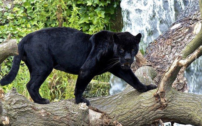 Как характеризуется кошка ягуар: где предпочитает жить животное