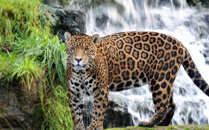 Как отличить ягуара от леопарда? » Magnus Felidae (Великие Кошачьи