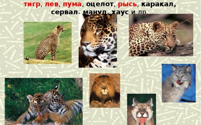 Камышовый кот и рысь отличия
