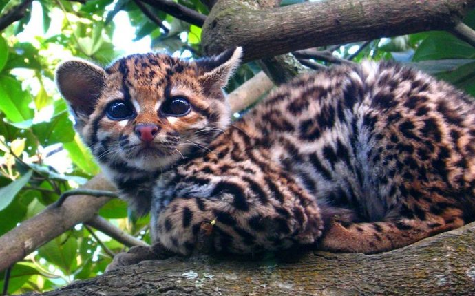 кошка Оцелот: фото, описание породы