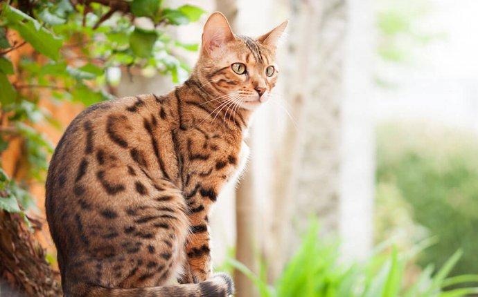 Кошка похожая на леопарда — бенгальская порода