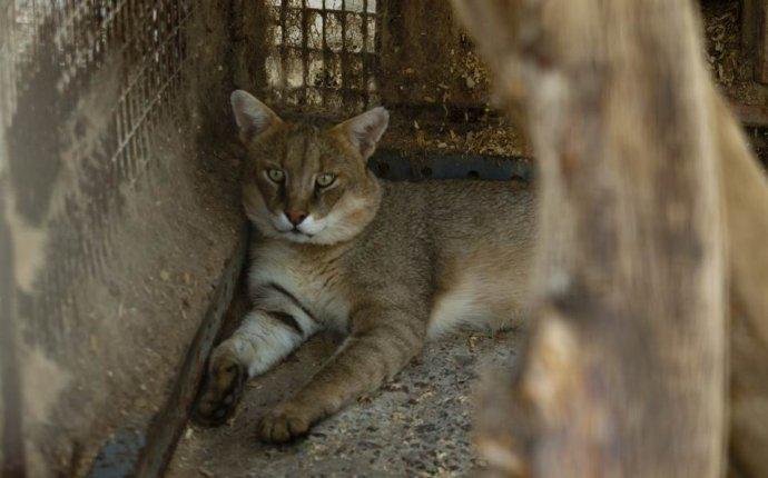 Кот камышовый (Хаус). Отличные фото камышового кота. Фотографии из