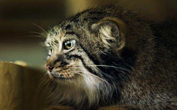 Кот манул и его привычки. Зоолог московского зоопарка о герое
