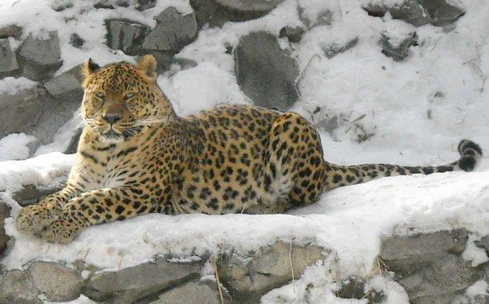 Леопард. Panthera pardus