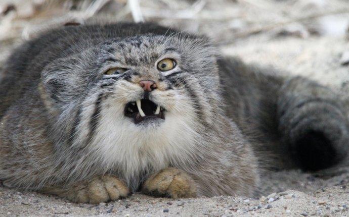 Манул - дикий кот, который гуляет сам по себе Обсуждение на