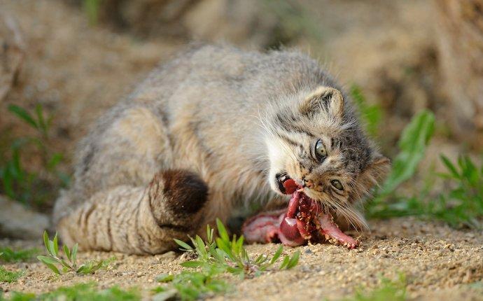 Манул: древняя и дикая порода кошек