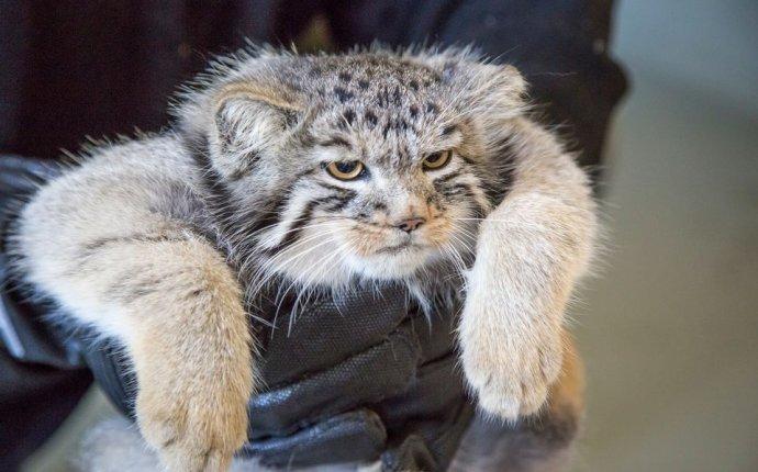 манул :: погладь кота :: котэ (прикольные картинки с кошками