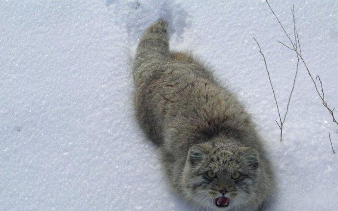 Манулы (фото и видео) Палла́сов кот » Просто Сайт