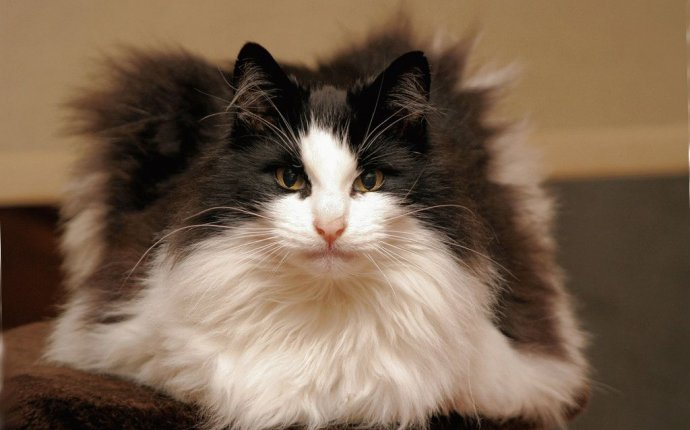 Норвежская лесная кошка - описание, характер, фото, цена | Сайт