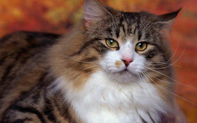 Норвежская лесная кошка, описание породы, фото, характер, окрас