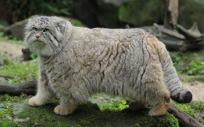 Обои Дикая кошка сервал, или кустарниковая кошка шипит, сидя в