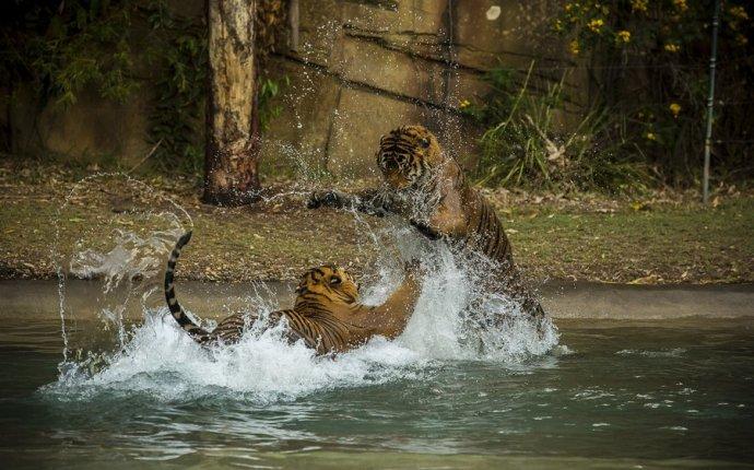 Обои тигры, дикие кошки, хищники, пара, Разное