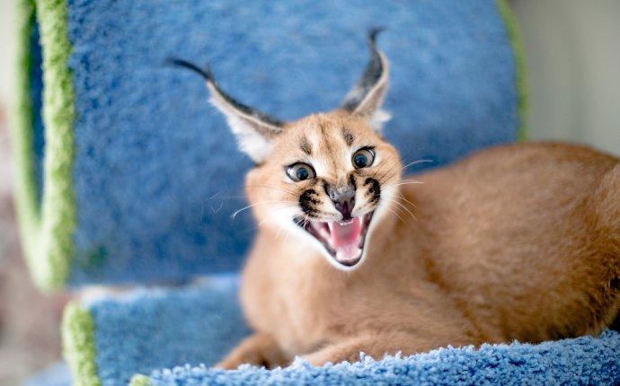 Питомник диких африканских кошек: martin