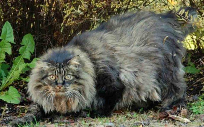 Порода домашних кошек, похожая на рысь, c кисточками на ушах