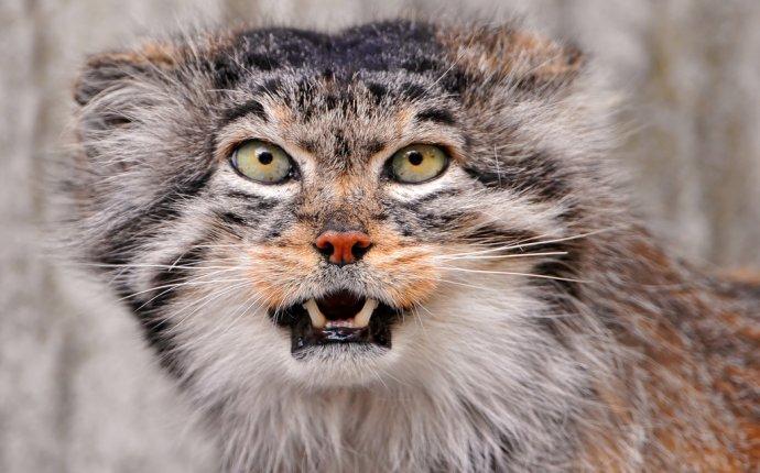 порода кошек манул фото цена | scorpion-cats.ru