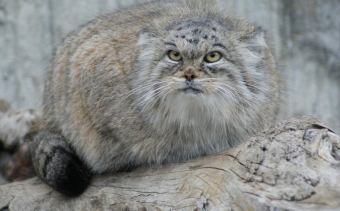 Project Wild cats of South Siberia will take place this year in