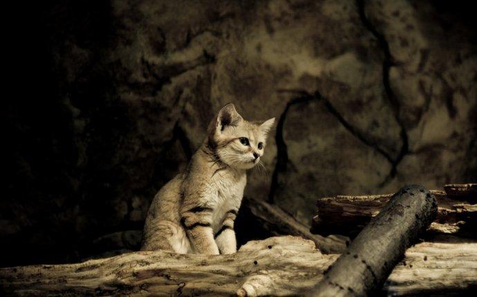 Разновидности диких кошек и название
