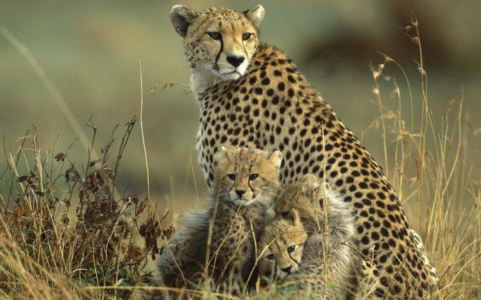 Семейка леопардов » Фото животных, фотографии животных