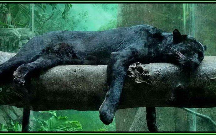 Слайд шоу большие дикие кошки: пантеры, барсы леопарды
