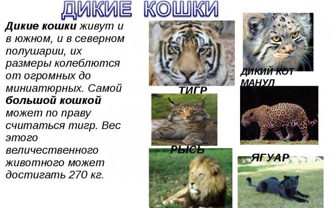 Сообщение про дикого кота