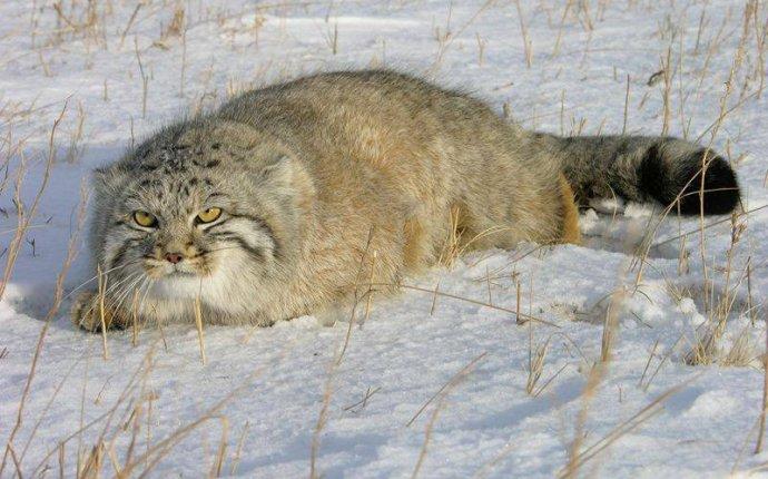 Забайкальский дикий кот манул фото